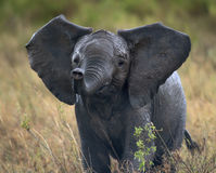 African elephant in Serengeti National Park Royalty Free Stock Image