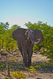 African Elephant sham charge. African Elephant (Loxodonta Africana) is enormous and unmistakable as the largest land animal on earth.  Adults have a life Stock Images