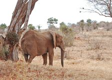 African Elephant Sheltering under Tree Stock Image
