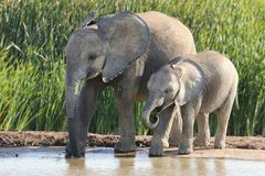 African Elephant Siblings Royalty Free Stock Photos