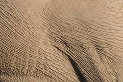 African elephant skin detail, etosha nationalpark, namibia. Loxodonta africana Royalty Free Stock Photo