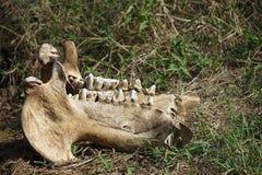 African Elephant Skull Kruger National Park. Skull African Elephant Kruger National Park Stock Images