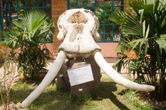African Elephant Skull (Loxodonta Africana). In front of Kandt House Museum of Natural History in Kigali, Rwanda stock image