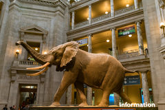 African Elephant at the Smithsonian National Museum of Natural History Stock Images