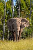 African Elephant_South Africa royalty free stock image