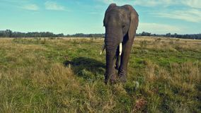 African elephant in South African prairie stock video