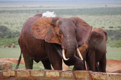 African  elephant spalshing Royalty Free Stock Images