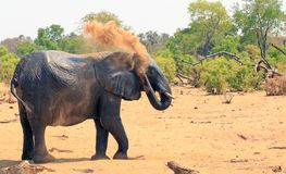 African elephant spraying dust over itself to cool down, Hwange National Park royalty free stock photos