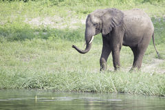 African Elephant Spraying Water At Drinking Hole Royalty Free Stock Images