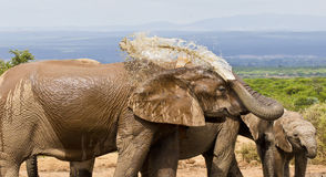 African elephant spraying water on its back Stock Photo
