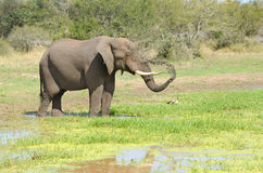 African Elephant Spraying Water Stock Image