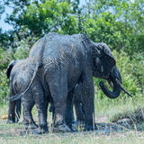African Elephant Squirts Thick Mud Over Himself Royalty Free Stock Image
