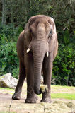 African Elephant Stance. African Elephant showing his stance as he ate Stock Images