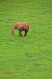 African elephant standing alone. In green field Royalty Free Stock Photos
