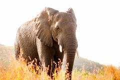 African elephant standing behind some dry grass. Close full-length shot Royalty Free Stock Photography
