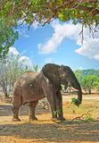 African Elephant standing with a branch in it`s trunk while in the bush with a blue cloudy sky, South Luangwa National Park Zambia. African Elephant standing in Stock Image