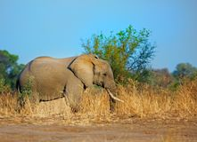 African landscape and an elephant against a bright blue vibrant sky in South Luangwa National Park, Zambia Stock Photo
