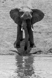 African Elephant. An African elephant standing in front of a waterhole Royalty Free Stock Photos