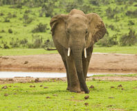 African elephant standing next to a water hole Royalty Free Stock Image