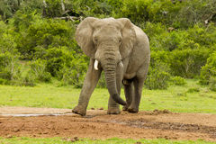 African elephant standing and shaking its trunk Royalty Free Stock Photo
