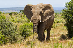 African elephant standing between two bushes Stock Photos