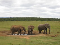 African elephant standing at a waterhole in Addo National Park Stock Photo