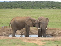 African elephant standing at a waterhole in Addo National Park. Two African elephants standing at a waterhole in Addo National Park, South Africa royalty free stock image