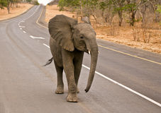 African Elephant stroll on highway. African Elephant (Loxodonta Africana) is enormous and unmistakable as the largest land animal on earth.  Adults have a life Stock Photo