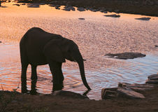 African Elephant at sunset. An African Elephant (Loxodonta africana) drinking at a waterhole with the sunset sky reflected in the water. In Etosha National Park stock images