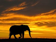 African Elephant at Sunset Silhouette. On Gondwana Game Reserve Western Cape, South Africa Stock Images