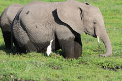 The African elephant in the swamp Stock Photography