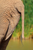 African elephant tail Royalty Free Stock Image