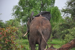 African Elephant tail  and  rear backside   Stock Images