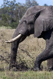 African Elephant Taking A Mud Bath Stock Photos
