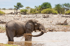 African Elephant Taking a Mud Bath at a Waterhole, Namibia Stock Photos