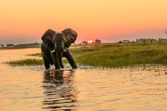 African elephant bathing at sunset. African elephant taking the waters of the Chobe river in Botswana as the sun goes down Royalty Free Stock Photography