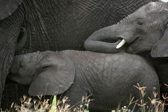 African Elephant, Tanzania, Africa Royalty Free Stock Image