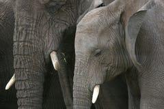African Elephant, Tanzania, Africa Stock Image