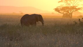 African Elephant, Tanzania National Park. Sunset Sunlight in Background