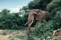 African elephant in Tarangire National Park. An African elephant comes out of the jungle royalty free stock images