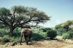 African elephant in Tarangire National Park Stock Photos