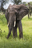 African elephant in the Tarangire National Park, Tanzania Stock Images