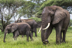 African elephant in the Tarangire National Park, Tanzania Stock Image
