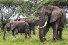 African elephant in the Tarangire National Park, Tanzania Stock Image