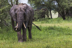 African elephant in the Tarangire National Park, Tanzania Stock Photos