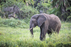 African elephant in the Tarangire National Park, Tanzania Royalty Free Stock Photography