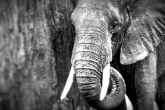 African elephant in the Tarangire National Park, Tanzania Stock Photography