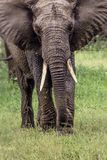 African elephant in the Tarangire National Park, Tanzania Royalty Free Stock Images
