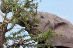 African Elephant Tearing Down Acacia Branch Stock Photography