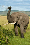 African elephant throwing dirt Stock Image